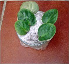 VERDE Y TIERRA: SAINTPAULIA (Violeta africana)