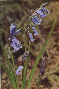 Wild Hyacinth Antique 1912 Botanical Wild Flower Print by H Essenhigh Corke