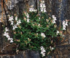 Antirrhinum sempervirens - snap dragon - rock wall Pool Plants, Tropical Plants, Antirrhinum, Rock Wall, Dragon, Flowers, Dragons