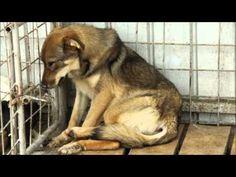 Swedih film about the stray dogs in Romania. Sensitive viewers are warned when the film contains nasty pictures Filmen visar hur många utav gatuhundarnas verklighet ser ut i Rumänien. Känsliga tittare varnas då filmen innehåller otäcka bilder-