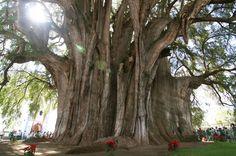 Cipreste mexicano, a árvore mais larga do mundo. 36 metros de cintura