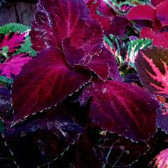 COLEUS A collection of various Coleus growing in my garden. They include ● Kingswood Torch' (Plectranthus Scutellarioides) ● Coleus Blumei (Aka Solenostemon Scutellarioides) ● Coleus Burnt Sienna ● Coleus Chocolate Covered Cherry ● Coleus Flamingo (Solenostemon) #melbourne #tropicalcoleus #coleus #coleuscollection Chocolate Covered Cherries, Season Colors, Flamingo, Melbourne, Cherry, Tropical, Garden, Collection, Flamingo Bird