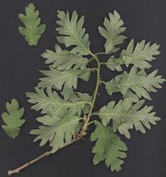 Herbario Virtual del Mediterráneo Occidental Roble melojo. Quercus Pyrenaica