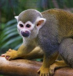 Squirrel Monkey - Mono Ardilla Photo by Alvaro Barrera — National Geographic Your Shot