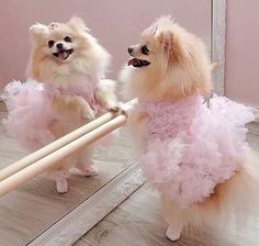 The traits I admire about the Cute Pomeranian Puppy All About Pomeranian Cute Baby Animals, Animals And Pets, Funny Animals, Cute Puppies, Cute Dogs, Dogs And Puppies, Doggies, Funny Dogs, I Love Dogs