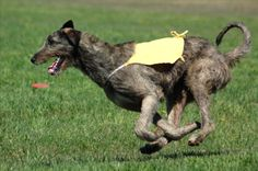 Wolfhound Coursing by Kevin in Irish Wolfhound on Fotopedia - Images . Wolfhound Dog, Irish Wolfhound, Giant Dog Breeds, Dog Pictures, Dogs And Puppies, Happiness, Animals, Warm, Irish Wolfhound Dogs