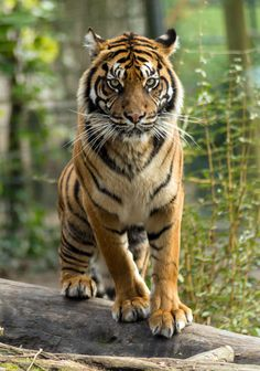 tiger by atsuhiko gatamé on 500px