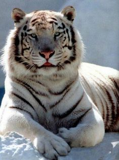 The Siberian tiger (also known as the Amur and the Ussuri tiger) is a large subspecies of tiger,found throughout western and central Asia. Nature Animals, Animals And Pets, Cute Animals, Wild Animals, Baby Animals, Jungle Animals, Beautiful Cats, Animals Beautiful, Beautiful Places