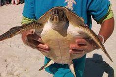 turtle release at Cape San Blas
