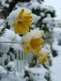 Winter Snow Covered Flowers