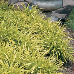 Liriope muscari 'Pee Dee' starts out yellow and goes to chartreuse and gold. $10 - $11 approx.
