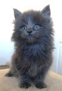 Blue Maine Coon cats - Bing Images