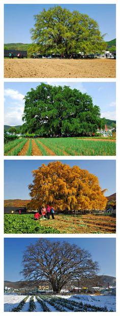 800년된 은행나무