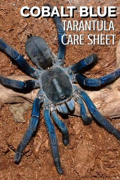The stunning cobalt blue tarantula is one of the best-known species thanks to their amazing blue color. If you've ever dreamt of keeping cobalt blue tarantulas then this care sheet reveals all you need to know to look after this fantastic exotic pet.
