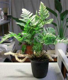 tarantel farn vogelspinnen farn humata tyermannii davallia zimmerpflanzen pinterest. Black Bedroom Furniture Sets. Home Design Ideas