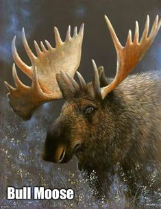 Anchorage Pictures, Photos of Anchorage, Alaska Moose Deer, Bull Moose, Moose Hunting, Pheasant Hunting, Turkey Hunting, Archery Hunting, Moose Art, Moose Pictures, Animal Pictures