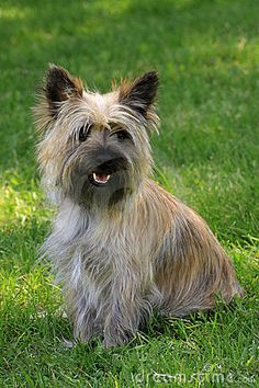pictures of cairn terrier puppies - Google Search