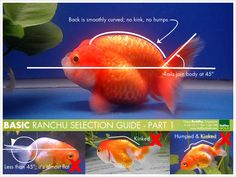 How to choose a ranchu goldfish