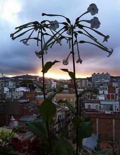 Nicotiana Sunset - 165/366