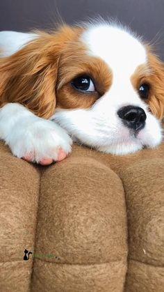Super Cute Puppies, Cute Baby Dogs, Cute Little Puppies, Cute Funny Dogs, Super Cute Animals, Cute Dogs And Puppies, Cute Funny Animals, Cute Baby Animals, Doggies