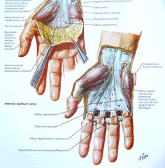 jayparkinsonmd: For anyone who has studied anatomy, you know the legendary Frank Netter, MD. He's a god to medical students— understandably so, just take a look at that guy! Hand Anatomy, Body Anatomy, Ulnar Nerve, Median Nerve, Muscle And Nerve, Medical Anatomy, Muscle Anatomy, Bones And Muscles, Physical Therapy