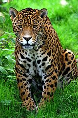 Jaguar (Panthera onca) Central and South America Beautiful Cats, Animals Beautiful, Cute Animals, Wild Animals, Baby Animals, Animal Jaguar, Big Cats, Cats And Kittens, Majestic Animals