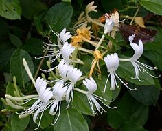 Remember the sweet taste of Honeysuckle when you were little? Love this edible wild plant that grows predominantly in Northeast United States. Click the picture to learn more about this wild edible.