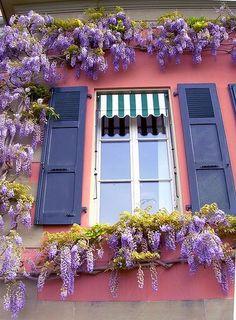 Vine plants window box
