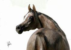 DA Niagara (Massai Ibn Marenga x DA Nigeria) 2007 grey mare bred by Darius Arab, Germany