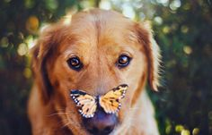 Golden Retriever with a Monarch Butterfly on his nose. Jessica Trinh 18 year old photographer based in Southern California Golden Retriever, Retriever Dog, I Love Dogs, Cute Dogs, Funny Animals, Cute Animals, Dog Portraits, Creative Portraits, Dog Photos