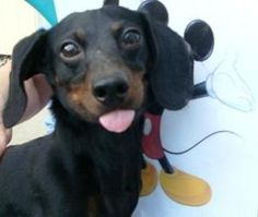 Mickey  Dachshund: An adoptable dog in Toledo, OH