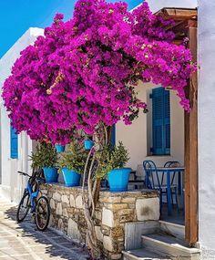 Este posibil ca imaginea să conţină: plantă, floare şi în aer liber Bougainvillea, Beautiful Gardens, Beautiful Flowers, Beautiful Places, Rustic Gardens, Colorful Garden, Greece Travel, Greek Islands, Santorini