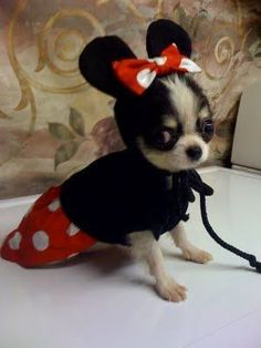 The sweetest Minnie Mouse you will ever find! #chihuahua