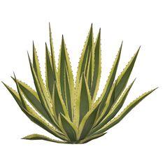 Agave americana marginata Tree Photoshop, Glue Book, Tree Shop, Plant Images, Architecture Visualization, Tree Silhouette, Plant Illustration, Botanical Flowers, Concept Architecture