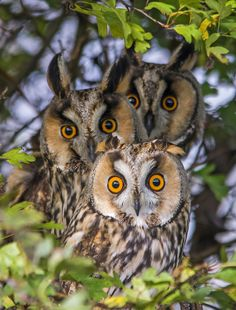 Family of great horned owls Owl Photos, Owl Pictures, Beautiful Owl, Animals Beautiful, Nocturnal Birds, Long Eared Owl, Horned Owl, Owl Bird, Tier Fotos
