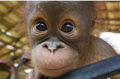 Super Cute Animals, Cute Baby Animals, Animals And Pets, Funny Animals, Cute Animal Photos, Animal Pictures, Beautiful Creatures, Animals Beautiful, Baby Orangutan