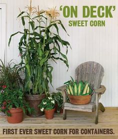 """On Deck"" sweet corn is the first-ever sweet corn specially bred for containers! New this year. 