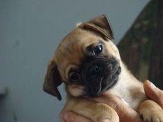 8 week old Chug (Chiuaua/Pug mix). I have one named EARL and he has become the sweetest boy ever! Chug Puppies, Chug Dog, Teacup Puppies, Pug Cross, Pug Mix, Baby Pugs, Cutest Dog Ever, Cute Dog Photos, Cute Chihuahua