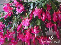 grudnik jak uprawiać Cool Winter, Flora, Plants, Gardens, Jewelry, Big, House, Cactus, Jewlery