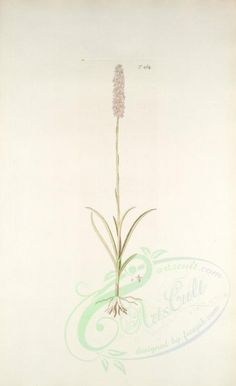orchis odoratissima - high resolution image from old book. Herb Art, Art Floral, Pictures To Paint, Botany, Bloom, Herbs, Clip Art, Scrapbook, Illustration