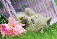 Postcard from Germany ~ Kitten ~ Britisch Kurzhaar Katze www.postcrossing.com