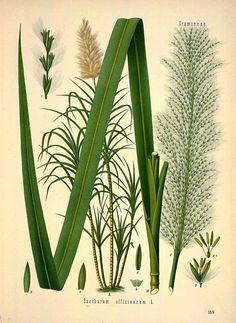 31436 Saccharum officinarum L. / Köhler, F.E., Medizinal Pflanzen, vol. 2: t. 169 (1890)