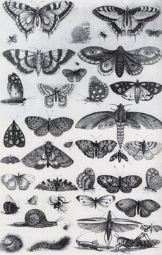 Forty-One Insects, Moths and Butterflies by Wenceslaus Hollar, 1646. Etching…