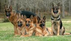 german shepereds like to stick in groups