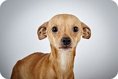 Bobby by Richard Phibbs.  He is a Chihuahua up for adoption at the Humane Society of New York.