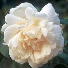 mme Alfred Carriere climbing white rose for north walls scented, reliable and good disease resistance. Continuous flowering