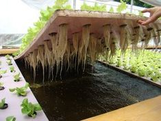 Solids Removal in Aquaponics is a VERY important aspect of a healthy and productive system. Read about various techniques from Dr. Nate Storey of Bright Agrotech.