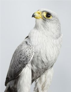 'Ash' Grey Falcon, 2014. Part of Leila's upcoming exhibition 'Prey' at Olsen Irwin Gallery. Photo – Leila Jeffreys.