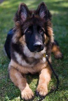 #German #Shepherd | Aww | Pinterest | German shepherds German and Dog & German #Shepherd | Aww | Pinterest | German shepherds German and Dog