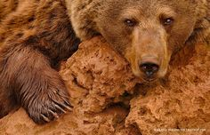 Photo Red Brown Bear by Marsel van Oosten on 500px